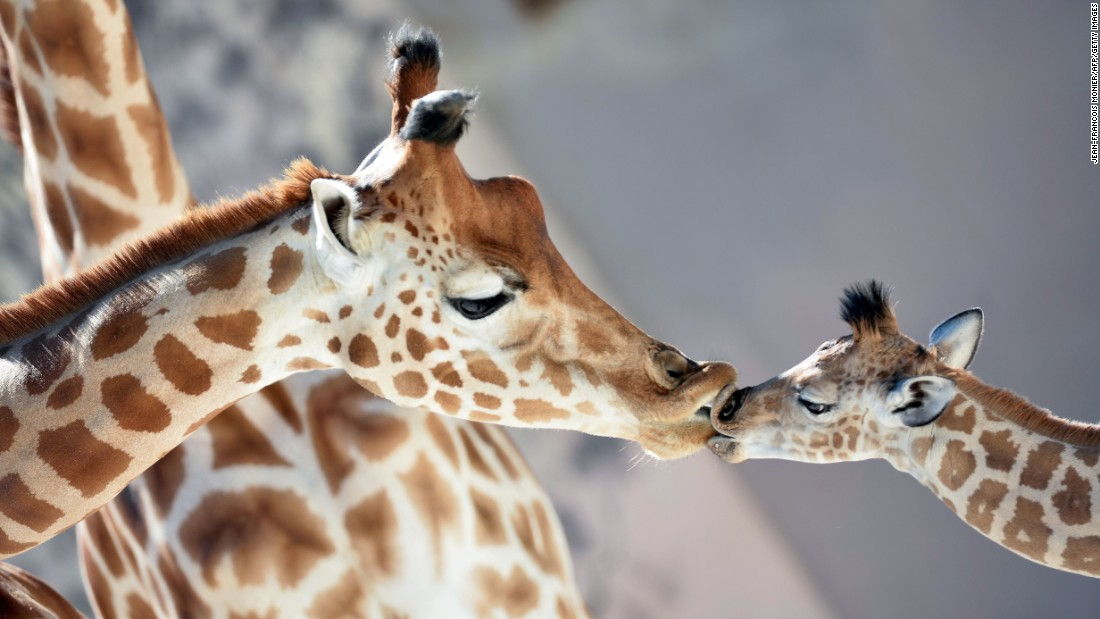 Kenai, a baby giraffe born on August 25, kisses his mother, Dioni, at a zoo in La Fleche, France, on Wednesday, August 31.
