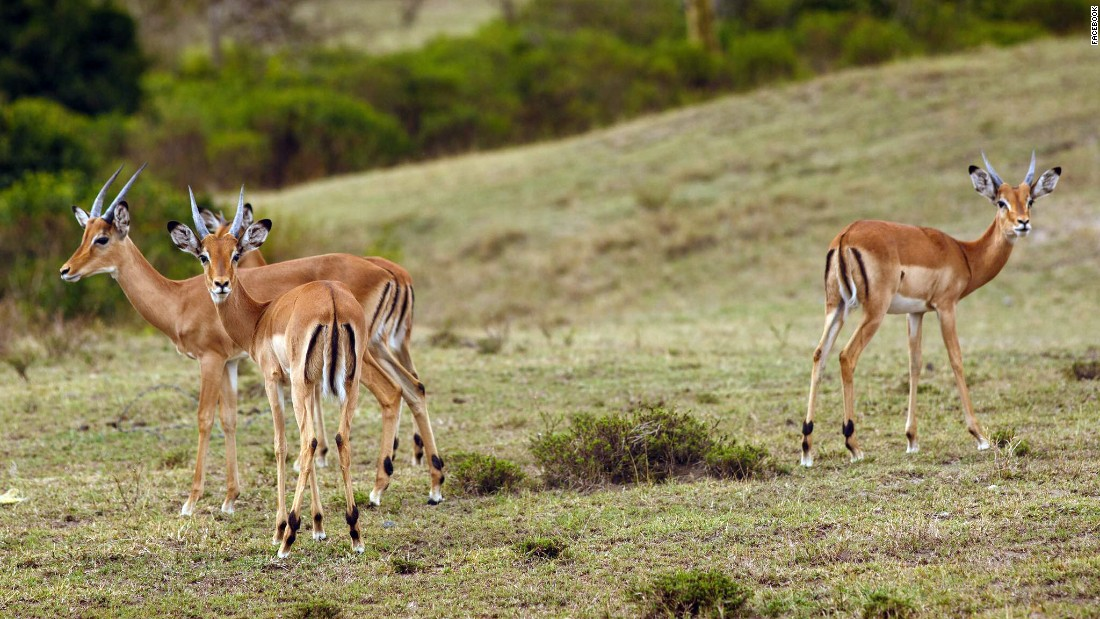 Young impalas graze in the Crescent Island Game Park on Lake Naivasha in the Great Rift Valley.