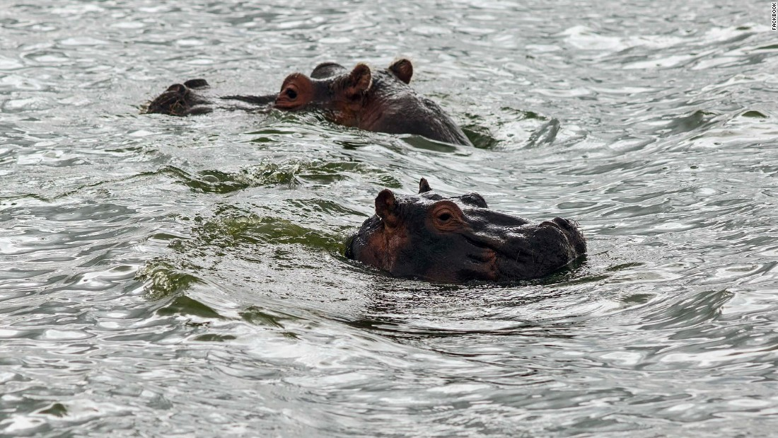 Hippo's swim in Lake Naivasha.