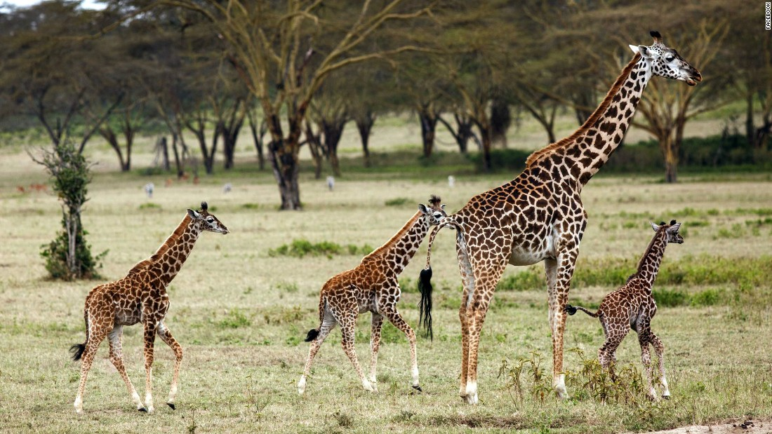 A small herd of giraffes on the Kenyan plain on the Crescent Island Game Park.