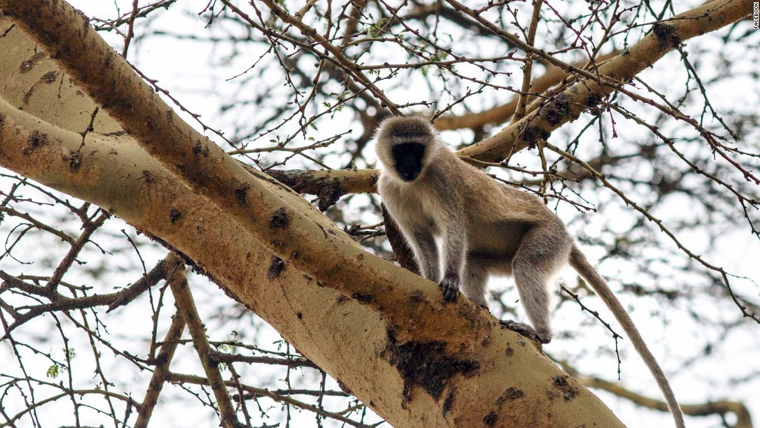 A vervet in the Crescent Island Game Park.