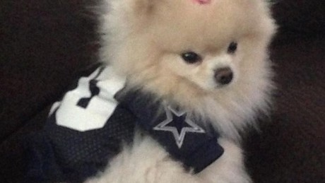 Jana Owen's dog in Cowboys outfit.