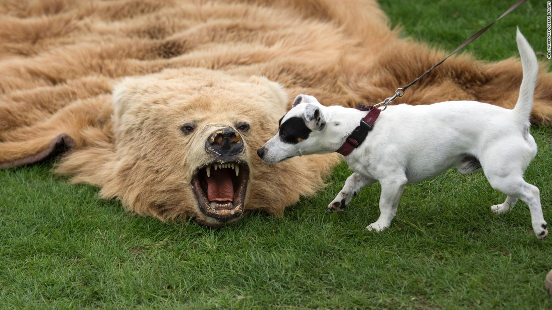 A dog sniffs a bearskin rug at the Chatsworth Country Fair in Derbyshire, England, on Friday, September 2. The rug had been seized by police and was part of a display by the Partnership for Action Against Wildlife Crime, a nongovernmental organization.