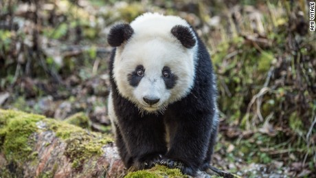 Saving the giant panda population through photography
