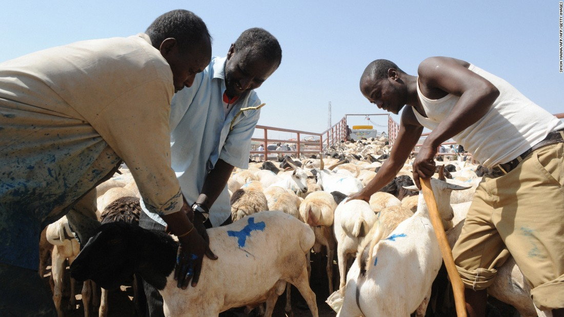 Traders preparing to load goats and sheep ready for export into a truck, at the biggest livestock market in Somaliland. Livestock farming is the backbone of the Somaliland economy. Every year, an estimated 4.2 million sheep, goats, cattle and camel are sold to neighboring Arab States via the port of Berbera.