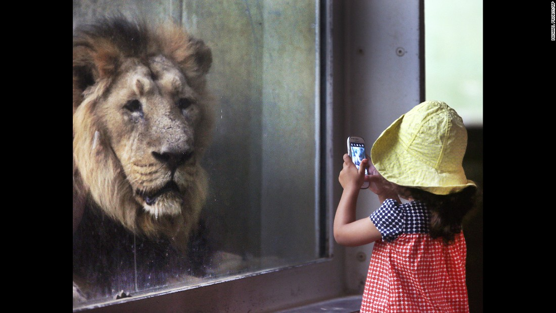 A child takes a picture of a lion at a zoo in Frankfurt, Germany, on Tuesday, September 13.