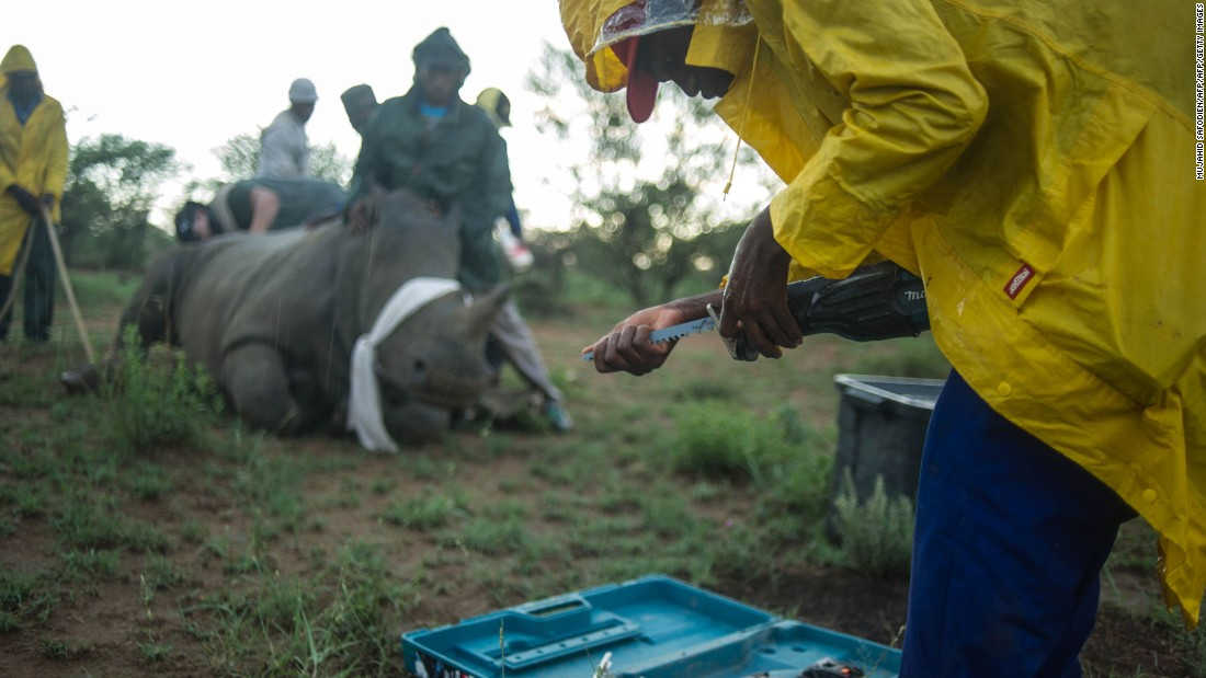 "Measurements are made and a line is drawn around the horn, leaving the horn bed intact so that it can grow back again. A vet is part of the team and monitors the rhino's vital signs. ""It was sedated but not unconscious,"" writes Somerville, ""and not obviously alarmed or in any pain."""