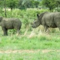 rhino dehorning 3