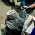 rhino dehorning 7