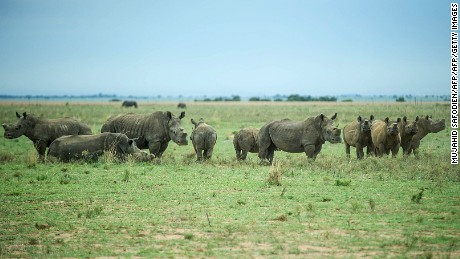 De-horned rhinos roam on the field at John Hume's Rhino Ranch in Klerksdorp, in the North Western Province of South Africa.