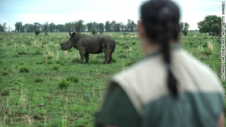 South African ranchers are dehorning rhinos. But is it the right thing to do?