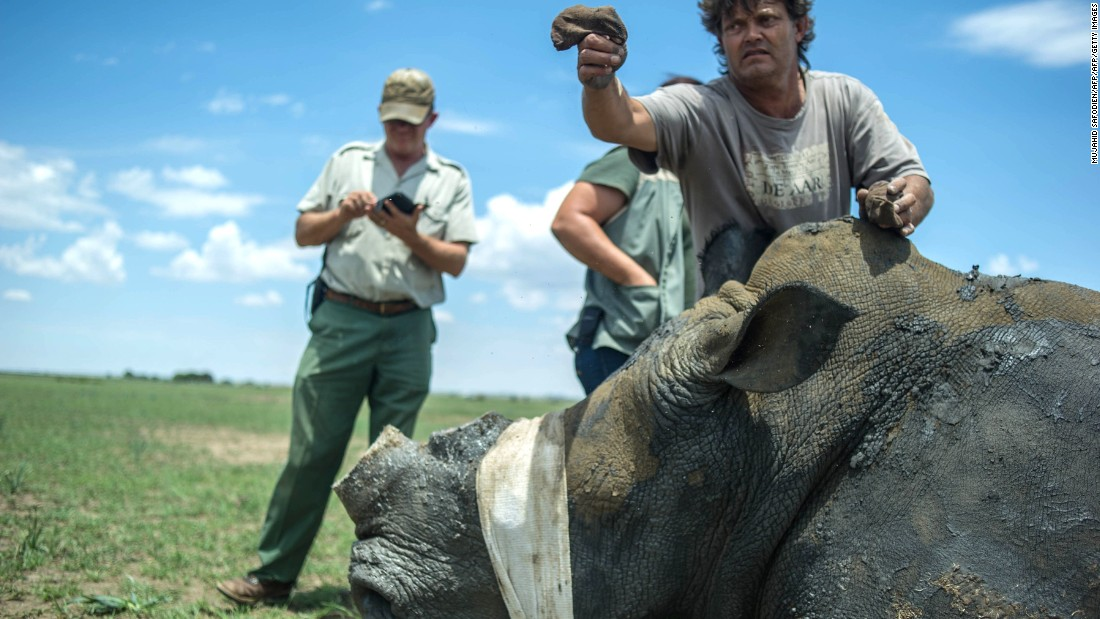 A rhino comes out of sedation at Hume's ranch. The team typically dehorns each rhino every 18 months to two years. Hume has bred 951 rhinos over the last 25 years. South Africa has 18,796 white rhinos and 1,916 black rhinos, writes Somerville.