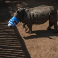 rhino dehorning 12