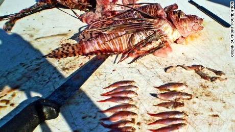 Dissection of a lionfish reveals its rampant appetite.