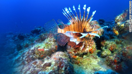 Lionfish swims on Bermuda reef. Studies have shown the predators can wipe out 80%-90% of reef biodiversity within weeks.