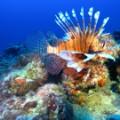 lionfish reef