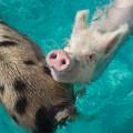snorkeling bahamas pigs