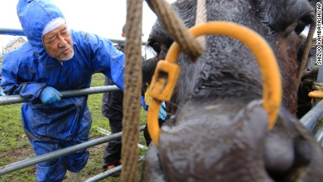 Keiji Okada, associate professor of veterinary medicine and agriculture at Iwate University, examines a cow at Ikeda Ranch in Okuma town, 5 kilometers (3 miles) west of Japan's crippled Fukushima Dai-ichi nuclear power plant.