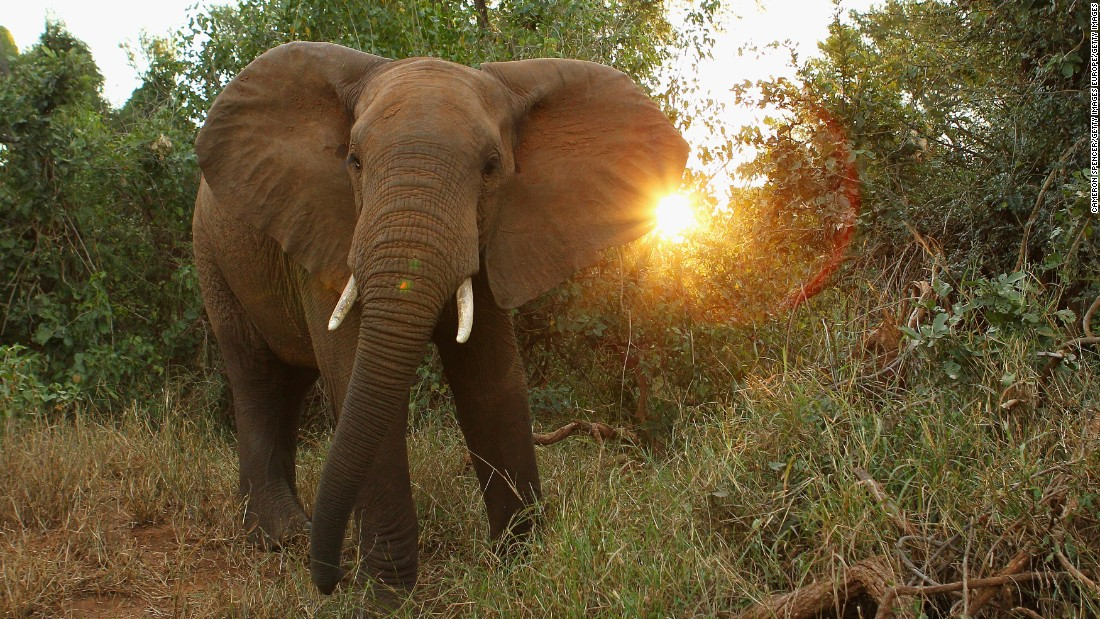 There are proposals to move all African Elephants to the Appendix I list, although this is opposed by Namibia and Zimbabwe, which support a limited, legal ivory trade.