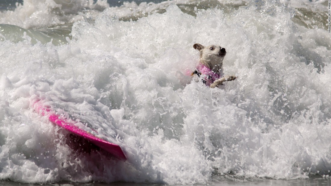 A dog wipes out during the Surf City Surf Dog competition in Huntington Beach, California, on Sunday, September 25.