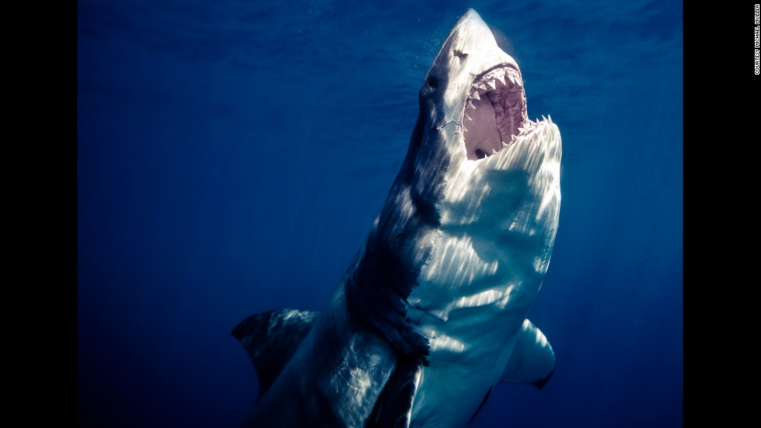 """We often see images such as this of their razor sharp teeth and that enormous bite. What people don't see is the bait or fish that this shark is going for,"" Muller says."