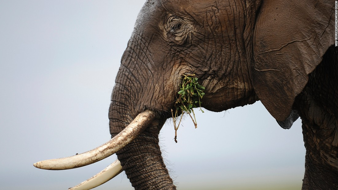 Sometimes poachers even hack off the elephant's entire face with an axe or machete to retrieve its valuable tusks. Pictured: an elephant at the Amboseli game reserve, Kenya in December 2012.