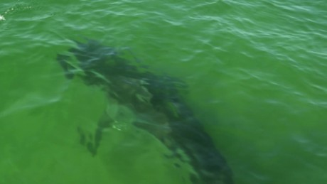 A shark in the waters off of Cape Cod, Massachusetts.