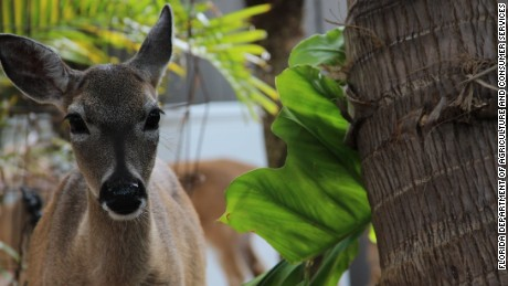 Endangered Key deer are facing an infestation of screwworms in Florida.