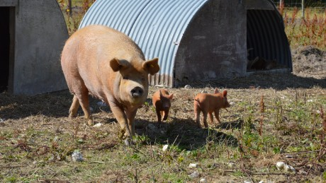 """It was a mistake to see the pigs before,"" says Gray of her abattoir visit."