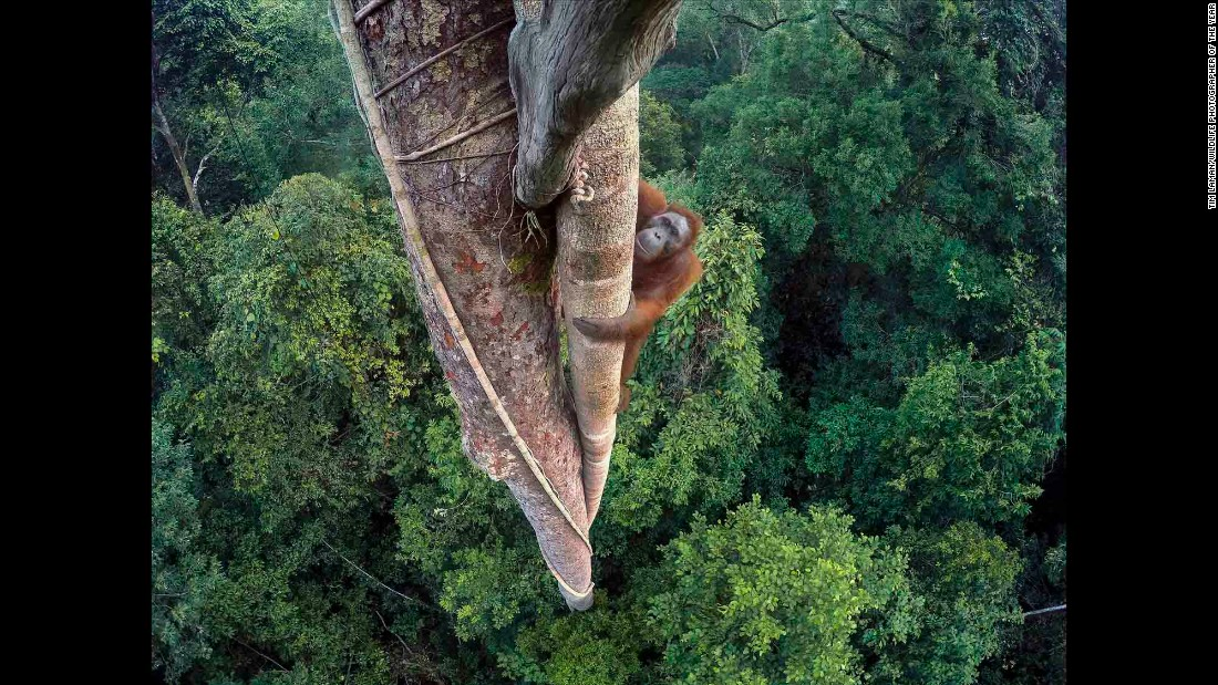 Category: Grand Prize <br />An endangered young male Bornean Orangutan climbs over 30 meters up in the rain forest of Gunung Palung National Park in Indonesian Borneo. The park is one of the few protected orangutan environments in Borneo.