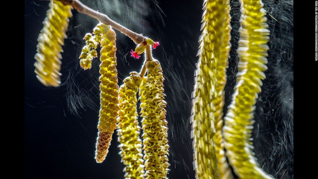 Category: Plants and Fungi<br />With every gust of wind, showers of pollen are released from a hazel tree and illuminated by the winter sun near photographer Valter Binotto's home in northern Italy.