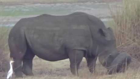 rhino stuck in tire rescued orig_00001005