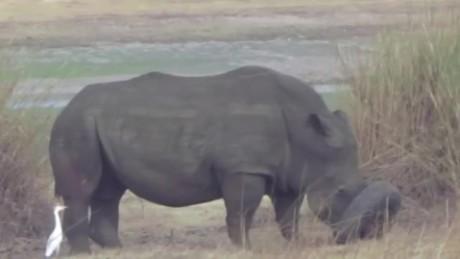 rhino stuck in tire rescued orig_00001005.jpg