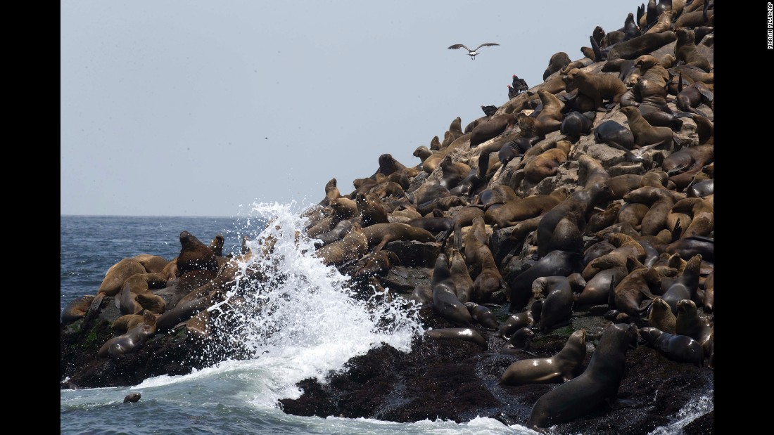 Hundreds of sea lions rest near the port of Callao, Peru, on Friday, October 14.