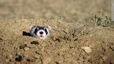 A captive-bred black-footed ferret observes its new surroundings after being released at Snake Butte, Fort Belknap Reservation, Montana