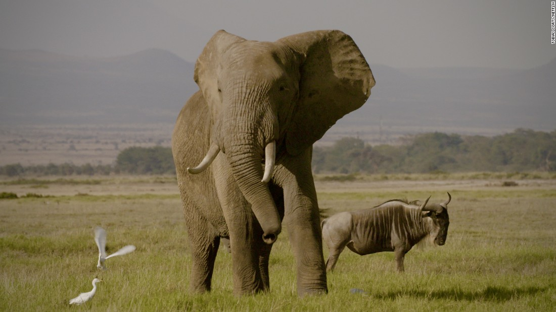 "As Netflix does not operate in China, the directors are seeking alternative avenues to broadcast ""The Ivory Game"" and make it part of the national conversation."