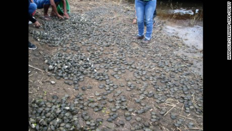 Thousands of baby Taricaya turtles were released in a stream of the Pacaya-Samiria National Reserve in Peru's  Loreto region.