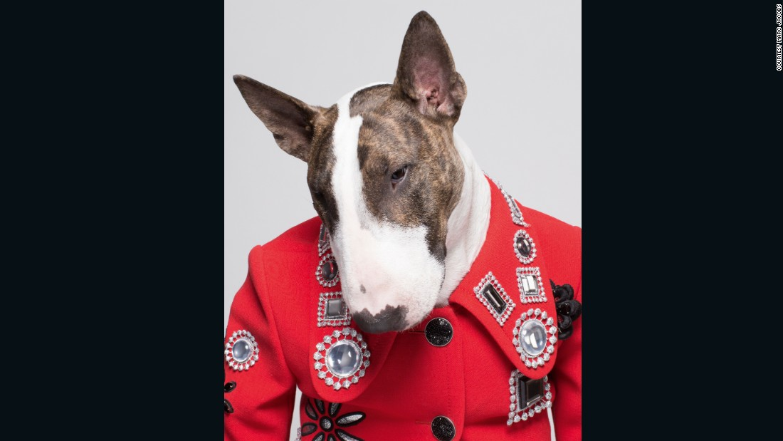 "Fashion designer Marc Jacob's bull terrier, Neville, has been called <a href=""http://www.nytimes.com/video/t-magazine/100000003860343/marc-jacobs-neville-dog.html"" target=""_blank"">""fashion's hardest working dog."" </a>"