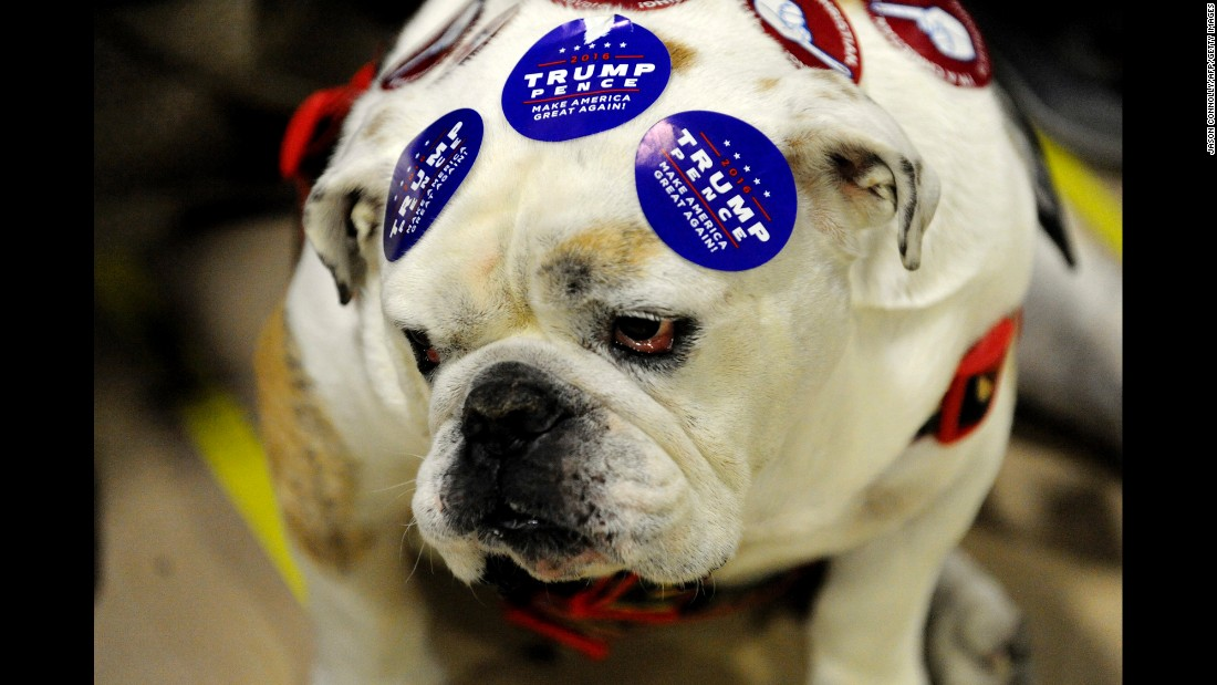 A bulldog wears Donald Trump stickers during a Trump rally in Greeley, Colorado, on Sunday, October 30.