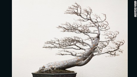 Chinese Elm, training date unknown -- Photographer Stephen Voss says he thinks the tree's leafless body and dramatic form reminds him of a tree growing on a rock along a coastline, battered by the wind.