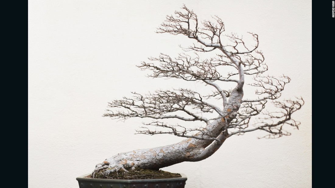 Voss says he thinks the tree's leafless body and dramatic form reminds him of a tree growing on a rock along a coastline, battered by the wind.  (Credit: Stephen Voss)