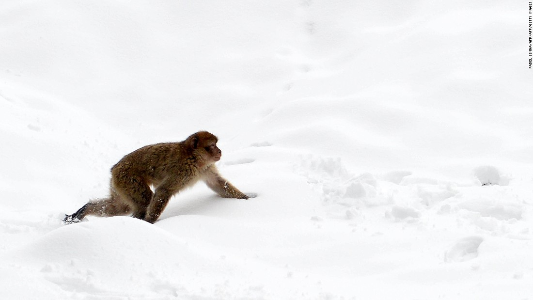 Barbary macaques are tough creatures and not averse to the snow that inundates the High Atlas each winter.
