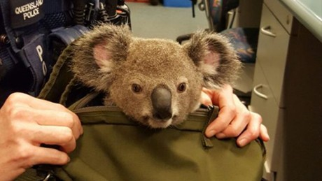 Australian police find baby koala in woman's bag