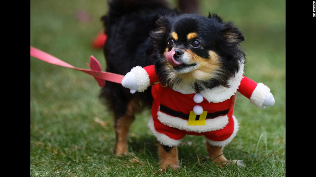 Chica the Chihuahua wears a Santa Claus outfit during the Shaggy Dog Show in Nairobi, Kenya, on Sunday, November 6.