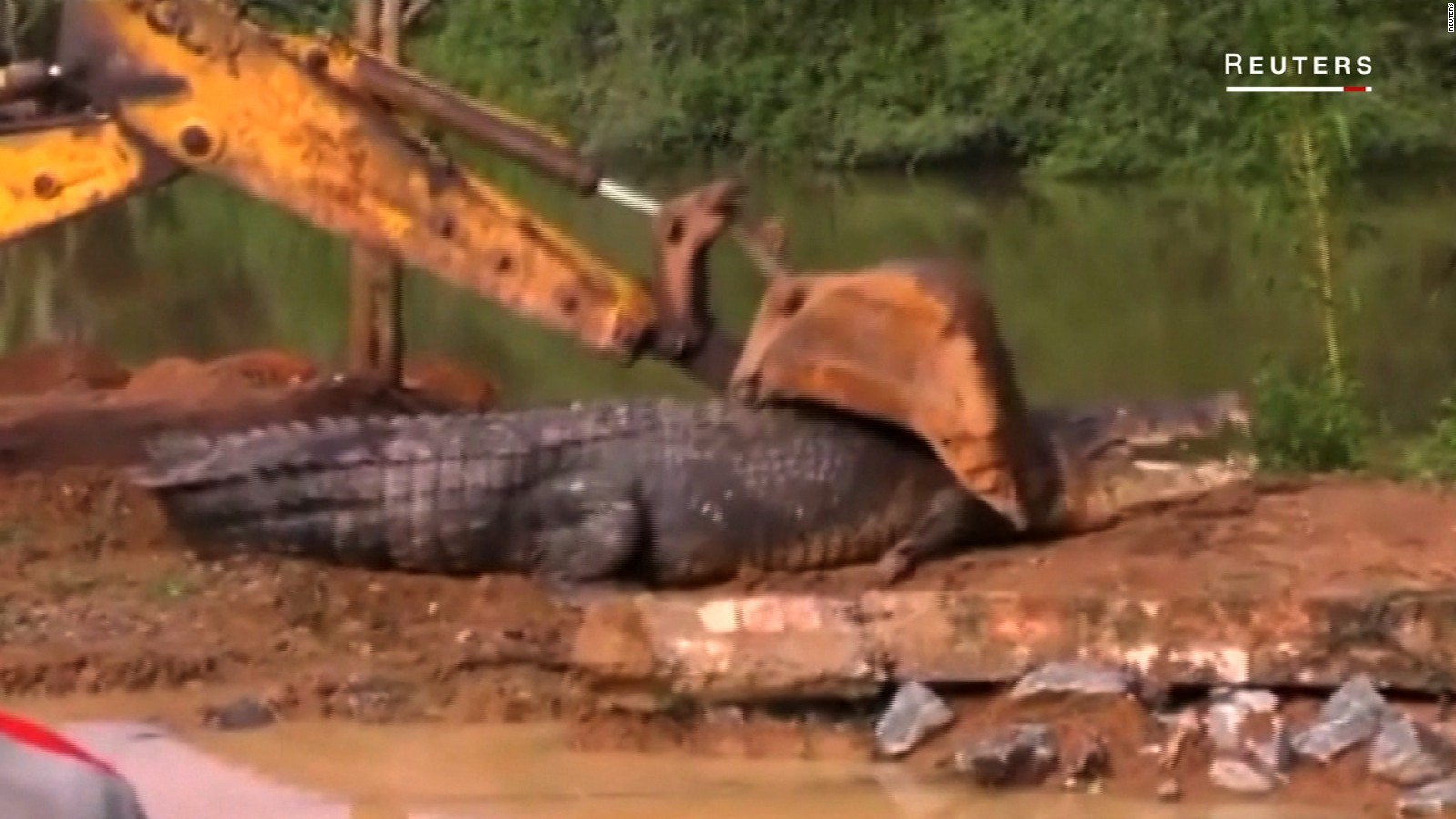 alligator the biggest dick in the world