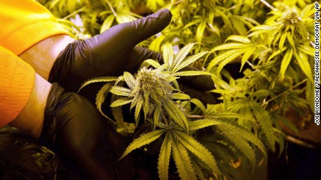 FILE - In this June 28, 2016 photo, Surterra Therapeutics Cultivation Manager Wes Conner displays the fully grown flower of one of their marijuana plants at their north Florida facility, on the outskirts of Tallahassee, Fla. The Florida Medical Marijuana Legalization Initiative, also known as Amendment 2, is on the Florida general election ballot. (Joe Rondone /Tallahassee Democrat via AP, File)