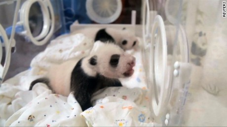 cnnee vo cafe bebes gemelos panda en china _00002611