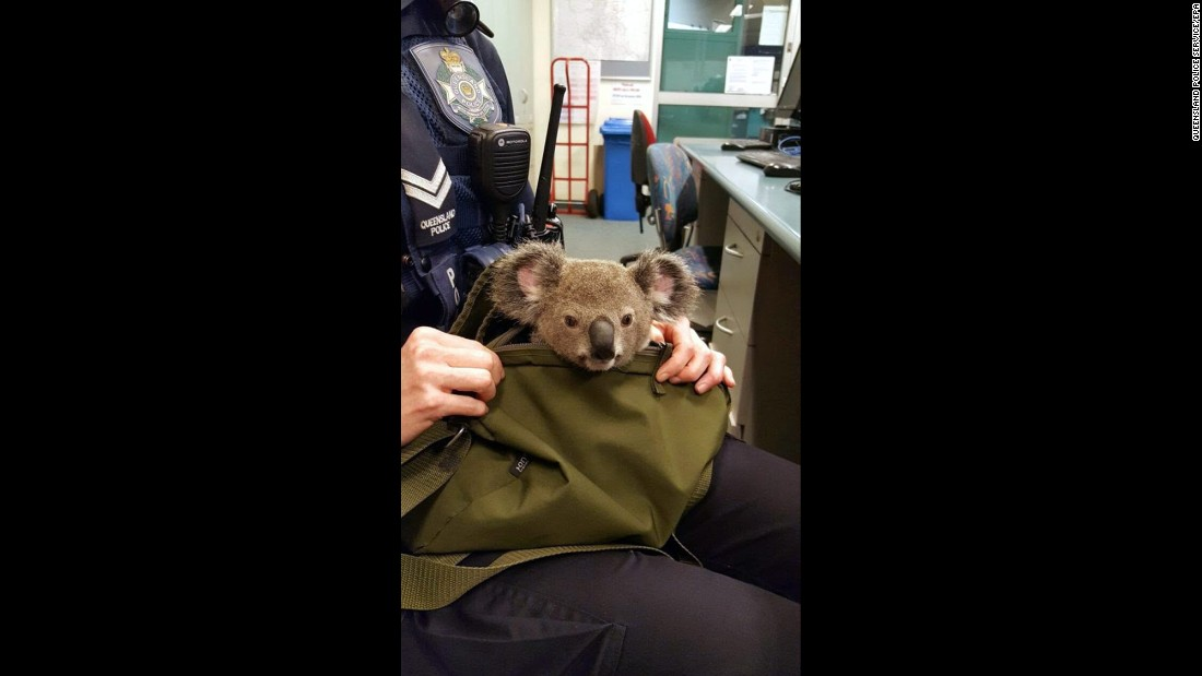 "A police officer holds a baby koala in a bag at a police station in Brisbane, Australia, on Sunday, November 6. Police found the koala, <a href=""http://mypolice.qld.gov.au/southbrisbane/2016/11/07/youll-never-guess-found-inside-one-womans-bag-wishart/"" target=""_blank"">which they later named Alfred</a>, during a traffic stop after asking the driver if she had anything with her."
