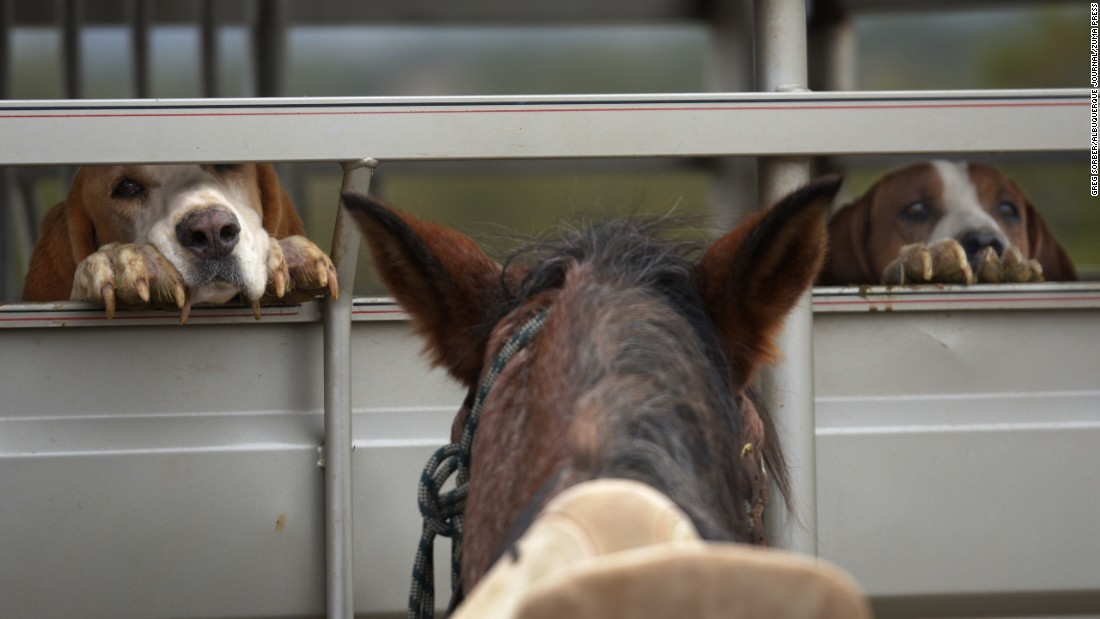 Dogs peek through a horse trailer at a ranch in San Felipe Pueblo, New Mexico, on Sunday, November 6.