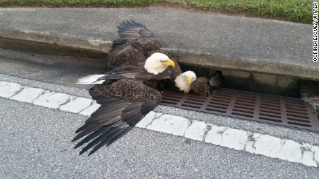 Orange County Fire and Rescue posted this image of a bald eagle trapped in a storm drain in Orange County Florida. The other eagle pictured flew away. CNN affiliate WFTV reported that the bird was trapped for about 90 minutes.